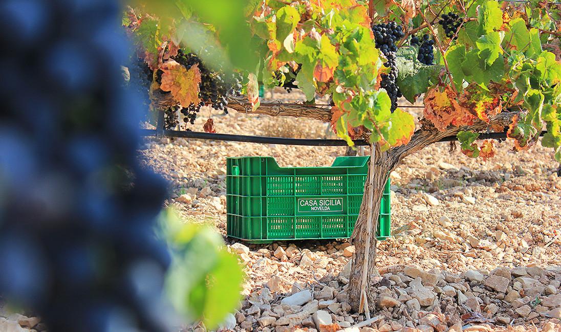 Cultivo de uva ecológico en Alicante