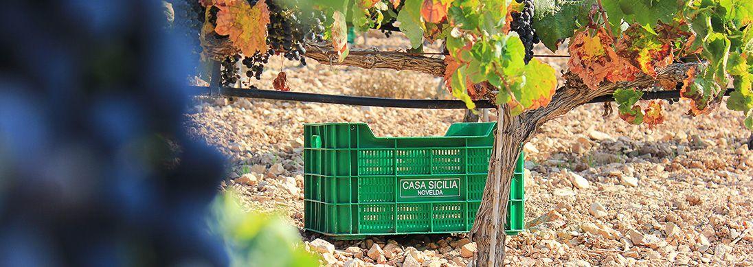 Coltivo ecológico de uvas en Alicante