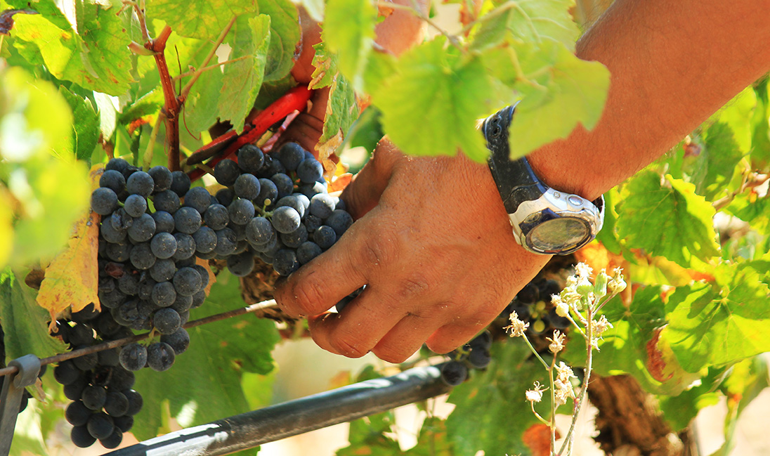 Cultivo de uva ecológico en la provincia de Alicante