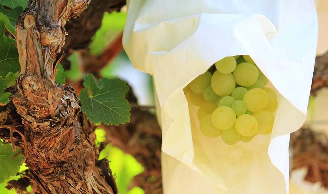 Cultivo de uva ecológico