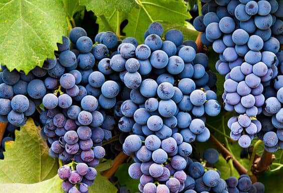 Uvas de bodegas de Alicante